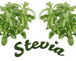 डायबिटीज और मोटापे मे राहत पहुचाने मे अमृत समान है आयुर्वेदिक पौधा -स्टीविया